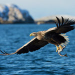This picture of White-tailed Eagle with a catch was taken in Norway from a boat.